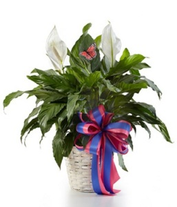The Sympathy Peace Lily Plant