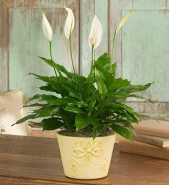 The Peace Lily Plant