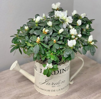 White Azalea in Decorative Watering Can