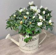 White Azalea in Decorative Watering Can