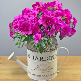 Colorful Azalea in Decorative Watering Can
