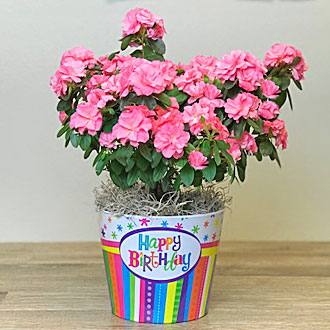 Ballard Blossom Inc Birthday Azalea Plant Seattle WA 98107 FTD