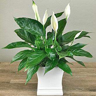 Ballard's Peace Lily Plant