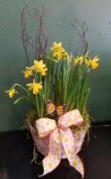 Dandy Daffodil