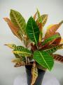 Croton (Codiaeum) Plant