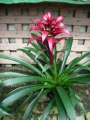 Bromeliad plant by CCF