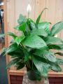 Peace Liliy (Spathiphyllum)