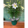 Easter Lily Triple Stem