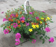 Caan Floral and Greenhouses - Mixed Hanging Basket
