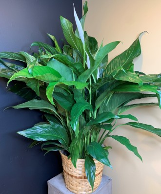 PEACE LILY FLOOR PLANT (DELUXE)