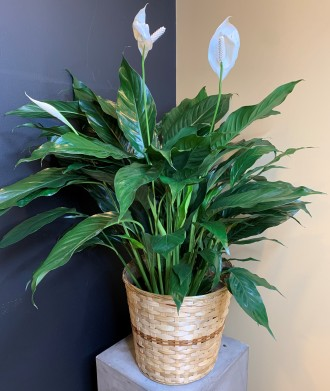 PEACE LILY 8 (DELUXE)