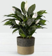 PEACE LILY PLANT 8