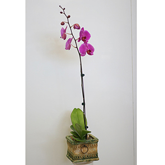 Orchid plant (purple)