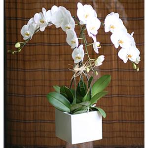 LA112 Waterfall of Orchids