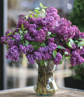LA244 lilac