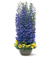 Distinguished Delphinium
