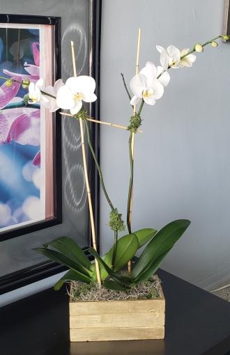 ORCHID PLANT DOUBLE
