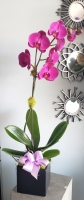 ORCHID PLANT SINGLE