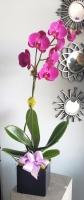 ORCHID PLANT SINGLE