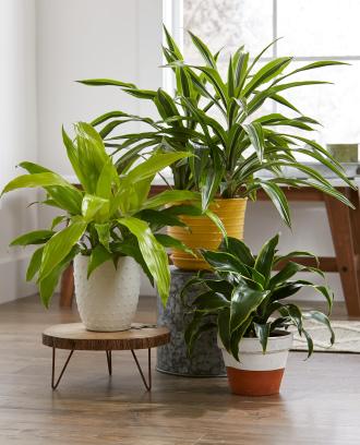 6 inch Tropical Dracaena Plant