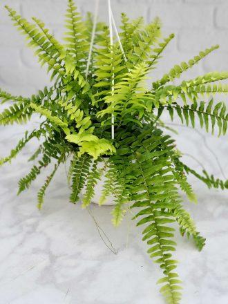 6 inch Tropical Hanging Boston Fern