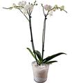 Orchidplant