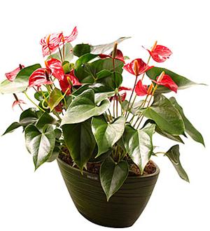 Flamengo Plant