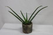 Aloe-ha