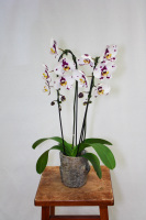 Single Cascading Orchid