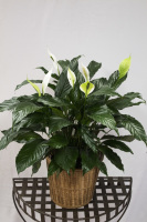 Large Peace Lily