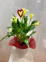 Valentines Day Calla Plant