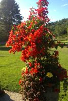 Bougainvillea Summer Urn