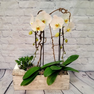 SOLD OUT!!!White Phalaenopsis Garden
