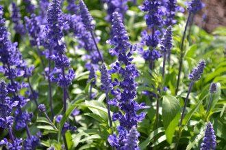 Salvia Victoria Blue