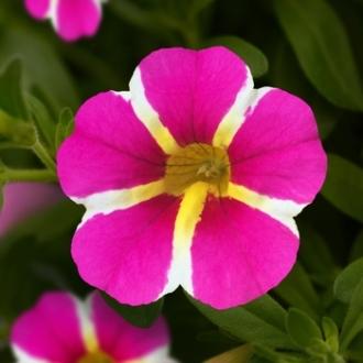 calibrachoa Mini Famous Uno Pink Star