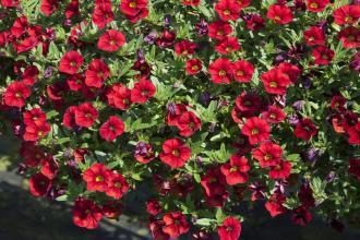 Calibrachoa Mini Famous Uno Red