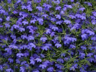 Lobelia Techno Cobalt Blue