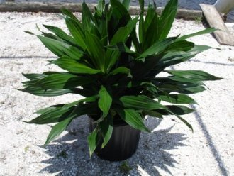 DRACENA GREEN JEWEL