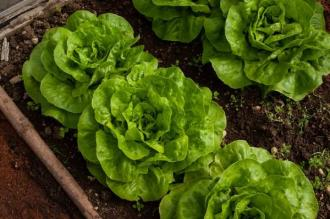 LETTUCE MIX  4 PAC And  ORGANIC 4
