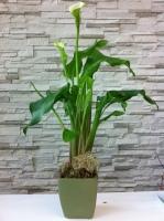 Modern plant LS28