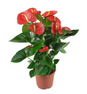 RED ANTHURIUM OF JULIETTE