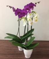 Phalaenopsis Orchid - Double Stem