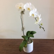 Orchidée Phalaenopsis - 1 Tige Deluxe