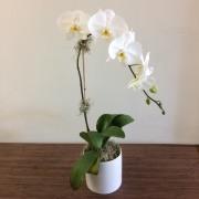 Phalaenopsis Orchid - Premium Single Stem