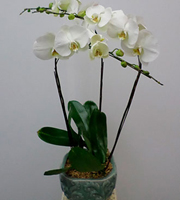 3 Stems Orchid Plant