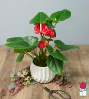 Beretania's Mini Anthurium Plant [Color Varies]
