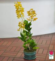 The BF Premium Dendro Orchid Plant in Ceramic