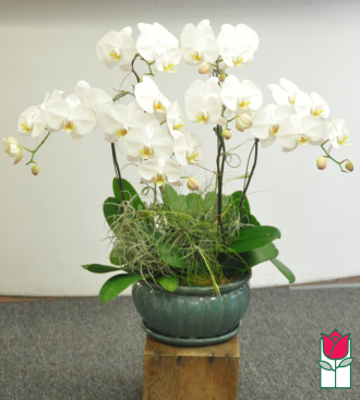 beretania florist phalaenopsis orchid plant delivery in honolulu hawaii