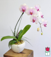 Phalaenopsis Orchid Ceramic Planter (Best Available Color)