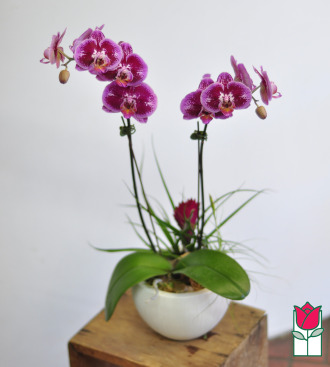 Double Phalaenopsis Orchid Ceramic Planter (Best Available Color)